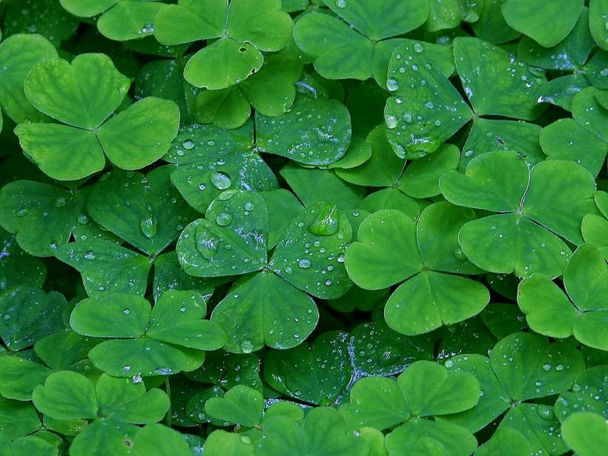 St. Patricks' Day Irish Clover