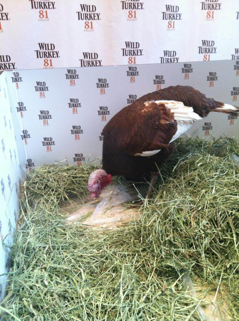 Wild Turkey Bourbon's Jimmy Junior Turkey has his own method of making NFL Predictions for Thanksgiving Day games
